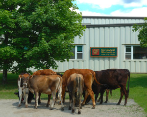 New England Woodcraft Facility Cows